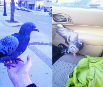 Pigeon rescue